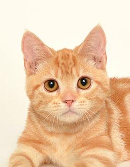 エムドッグス,動物プロダクション,ペットモデル,ペットタレント,モデル猫,タレント猫,\アメリカンショートヘアー,虎鉄(こてつ)