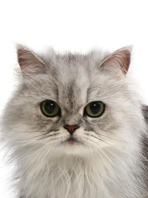 エムドッグス,動物プロダクション,ペットモデル,ペットタレント,モデル猫,タレント猫,ペルシャ,ニーナ