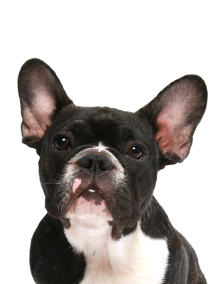 エムドッグス,動物プロダクション,ペットモデル,ペットタレント,モデル犬,タレント犬,フレンチブルドッグ,黒霧島(くろきりしま)