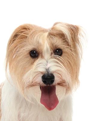 エムドッグス,動物プロダクション,ペットモデル,ペットタレント,モデル犬,タレント犬,ジャックラッセルテリア,サラ