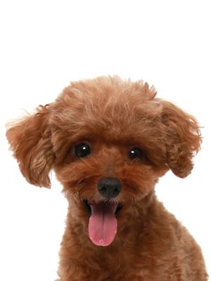 エムドッグス,動物プロダクション,ペットモデル,ペットタレント,モデル犬,タレント犬,トイプードル,るうか