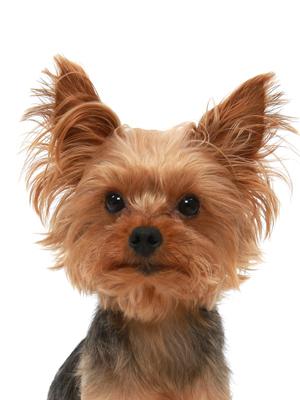 エムドッグス,動物プロダクション,ペットモデル,ペットタレント,モデル犬,タレント犬,ヨークシャーテリア,モカ