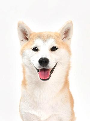 エムドッグス,動物プロダクション,ペットモデル,ペットタレント,モデル犬,タレント犬,柴犬,琉那,るな