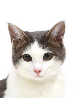 エムドッグス,動物プロダクション,ペットモデル,ペットタレント,モデル猫,タレント猫,MIX猫,チロ