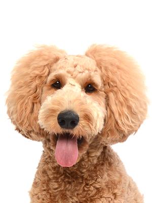 エムドッグス,動物プロダクション,ペットモデル,ペットタレント,モデル犬,タレント犬,ゴールデンドゥードル,キラリ