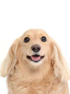 エムドッグス,動物プロダクション,ペットモデル,ペットタレント,モデル犬,タレント犬,ミニチュアダックスフンド,ハッピー