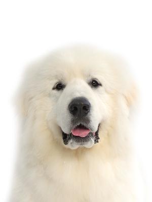 エムドッグス,動物プロダクション,ペットモデル,ペットタレント,モデル犬,タレント犬,グレートピレニーズ,パリン