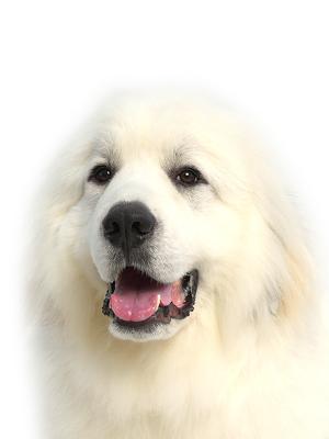 エムドッグス,動物プロダクション,ペットモデル,ペットタレント,モデル犬,タレント犬,グレートピレニーズ,リボン