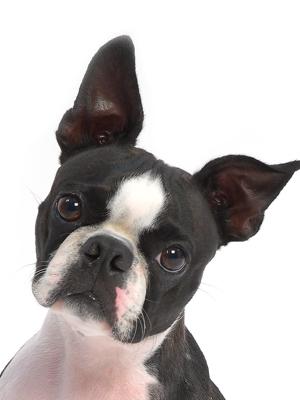 エムドッグス,動物プロダクション,ペットモデル,ペットタレント,モデル犬,タレント犬,ボストンテリア,ガブリエル,