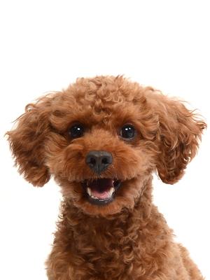 エムドッグス,動物プロダクション,ペットモデル,ペットタレント,モデル犬,タレント犬,トイプードル,小太郎