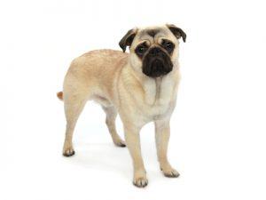 エムドッグス,動物プロダクション,ペットモデル,ペットタレント,モデル犬,タレント犬,パグ,小太郎