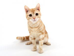 エムドッグス,動物プロダクション,ペットモデル,ペットタレント,モデル猫,タレント猫,アメリカンショートヘアー,虎鉄(こてつ)