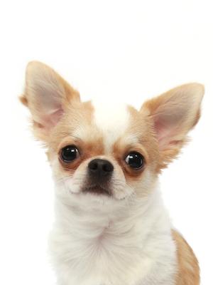エムドッグス,動物プロダクション,ペットモデル,ペットタレント,モデル犬,タレント犬,チワワ,カノア