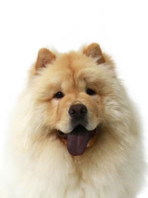エムドッグス,動物プロダクション,ペットモデル,ペットタレント,モデル犬,タレント犬,チャウチャウ,へむへむ