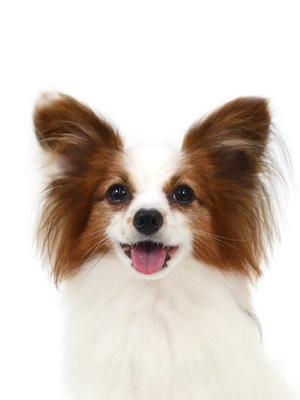 エムドッグス,動物プロダクション,ペットモデル,ペットタレント,モデル犬,タレント犬,パピヨン,美翼,みう