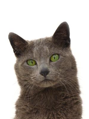 エムドッグス,動物プロダクション,ペットモデル,ペットタレント,モデル猫,タレント猫,ロシアンブルー,ロブ