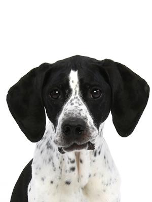 エムドッグス,動物プロダクション,ペットモデル,ペットタレント,モデル犬,タレント犬,イングリッシュ・ポインター,パティ