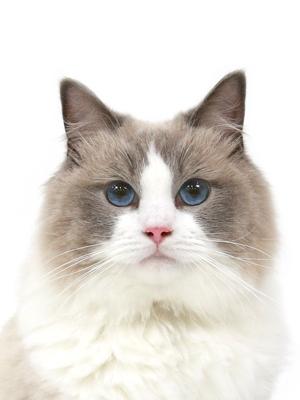 エムドッグス,動物プロダクション,ペットモデル,ペットタレント,モデル猫,タレント猫,ラグドール,Arie,アリー