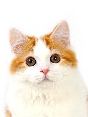 エムドッグス,動物プロダクション,ペットモデル,ペットタレント,モデル猫,タレント猫,スコティッシュフォールド,ミエル