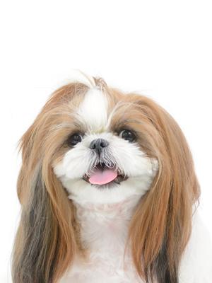 エムドッグス,動物プロダクション,ペットモデル,ペットタレント,モデル犬,タレント犬,シーズー,coco,ココ