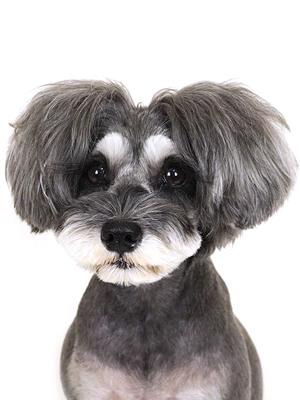 エムドッグス,動物プロダクション,ペットモデル,ペットタレント,モデル犬,タレント犬,ミニチュアシュナウザー,アリス