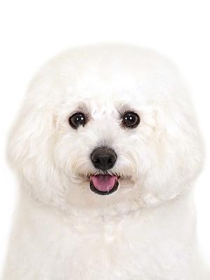 エムドッグス,動物プロダクション,ペットモデル,ペットタレント,モデル犬,タレント犬,ビションフリーゼ,めろん