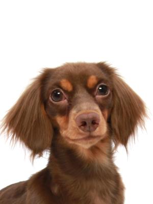 エムドッグス,動物プロダクション,ペットモデル,ペットタレント,モデル犬,タレント犬,カニヘンダックスフント,チャコ
