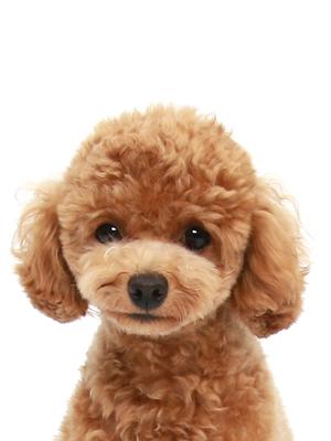 エムドッグス,動物プロダクション,ペットモデル,ペットタレント,モデル犬,タレント犬,トイプードル,コマみ