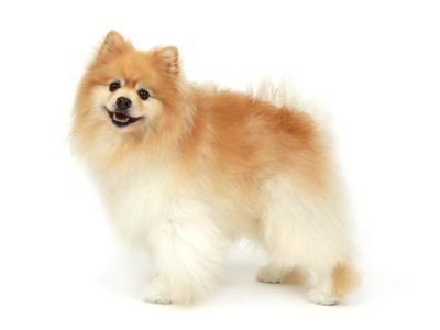 エムドッグス,動物プロダクション,ペットモデル,ペットタレント,モデル犬,タレント犬,ポメラニアン,レン