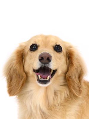 エムドッグス,動物プロダクション,ペットモデル,ペットタレント,モデル犬,タレント犬,ミニチュアダックスフンド,モコ