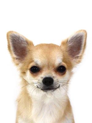 エムドッグス,動物プロダクション,ペットモデル,ペットタレント,モデル犬,タレント犬,チワワ,ちい