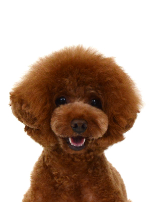 エムドッグス,動物プロダクション,ペットモデル,ペットタレント,モデル犬,タレント犬,トイプードル,拓哉