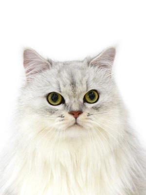 エムドッグス,動物プロダクション,ペットモデル,ペットタレント,モデル猫,タレント猫,ペルシャ,まる