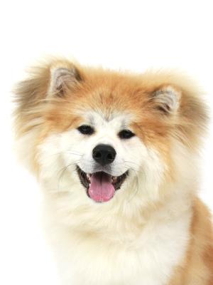 エムドッグス,動物プロダクション,ペットモデル,ペットタレント,モデル犬,タレント犬,秋田犬,優,ゆう