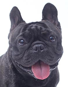エムドッグス,動物プロダクション,ペットモデル,ペットタレント,モデル犬,タレント犬,フレンチブルドッグ,James,ジェームズ