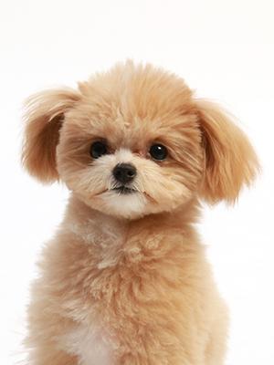 エムドッグス,動物プロダクション,ペットモデル,ペットタレント,モデル犬,タレント犬,MIX犬,ティア