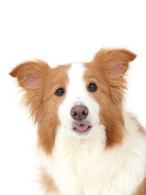 エムドッグス,動物プロダクション,ペットモデル,ペットタレント,モデル犬,タレント犬,ボーダーコリー,なっちゃん
