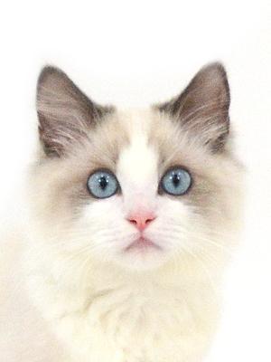 エムドッグス,動物プロダクション,ペットモデル,ペットタレント,モデル猫,タレント猫,ラグドール,白米,はくまい