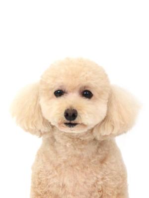 エムドッグス,動物プロダクション,ペットモデル,ペットタレント,モデル犬,タレント犬,トイプードル,くるみ