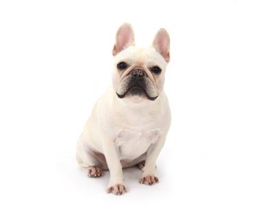 エムドッグス,動物プロダクション,ペットモデル,ペットタレント,モデル犬,タレント犬,フレンチブルドッグ,ソフィア
