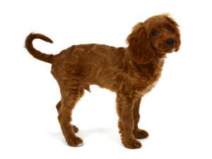 エムドッグス,動物プロダクション,ペットモデル,ペットタレント,モデル犬,タレント犬,MIX犬,Roi,ロワ