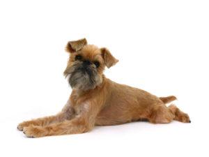 エムドッグス,動物プロダクション,ペットモデル,ペットタレント,モデル犬,タレント犬,ブリュッセルグリフォン,ジャンティ