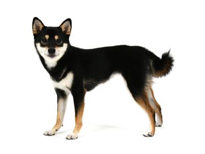 エムドッグス,動物プロダクション,ペットモデル,ペットタレント,モデル犬,タレント犬,柴犬,Rey,レイ