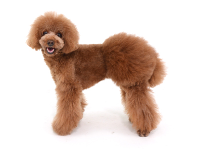 エムドッグス,動物プロダクション,ペットモデル,ペットタレント,モデル犬,タレント犬,トイプードル,拓哉,たくや