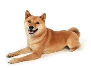 エムドッグス,動物プロダクション,ペットモデル,ペットタレント,モデル犬,タレント犬,柴犬,なな