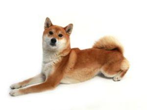 エムドッグス,動物プロダクション,ペットモデル,ペットタレント,モデル犬,タレント犬,柴犬,朱莉(しゅり)