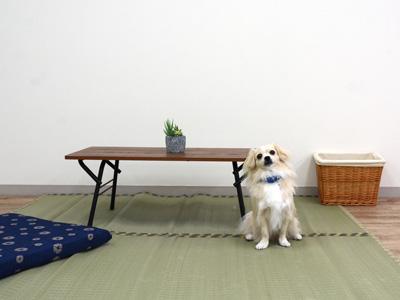 エムドッグス,動物プロダクション,ペットモデル,ペットタレント,モデル犬,タレント犬,MIX犬,風来,ふく