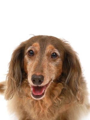 エムドッグス,動物プロダクション,ペットモデル,ペットタレント,モデル犬,タレント犬,ミニチュアダックスフンド,ラム