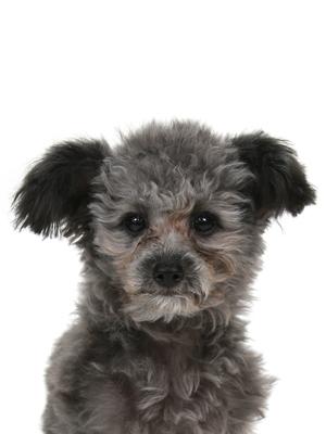 エムドッグス,動物プロダクション,ペットモデル,ペットタレント,モデル犬,タレント犬,トイプードル,神羽,しんば