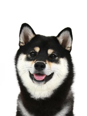 エムドッグス,動物プロダクション,ペットモデル,ペットタレント,モデル犬,タレント犬,柴犬,クロエ